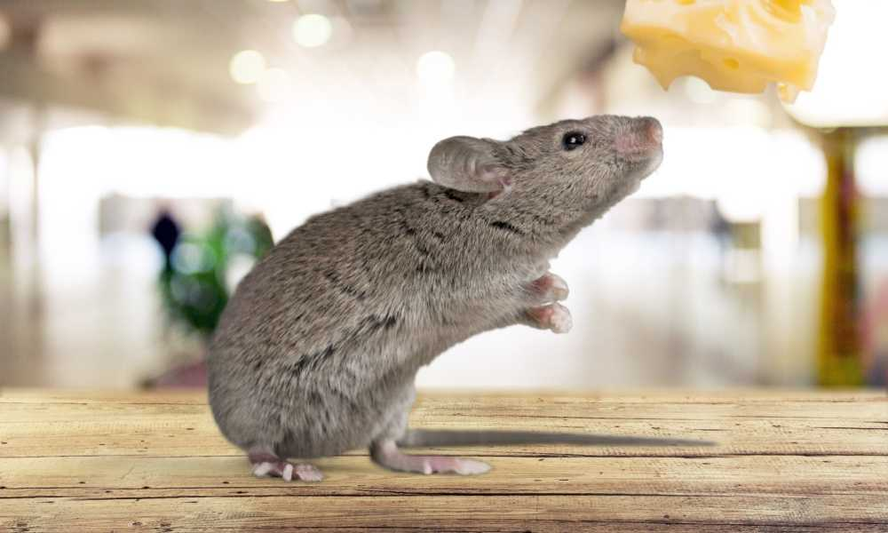 Best-Way-to-Get-Rid-of-Mice