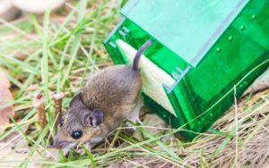 humane mouse trap release rodent
